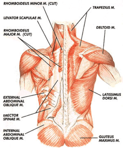 posterior-outer-core